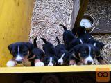 Švicarski planšarski pes: appenzeller