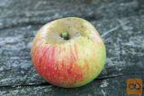 Jabolka za sok, mošt, kis. Nikoli škropljena.