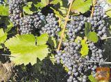 Prodam rdeče grozdje Modra frankinja in žametna črnina