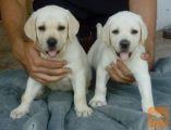 Labrador in Zlati retreiver