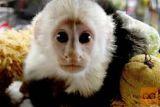 Opice kapucine za posvojitev.