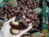 Kostanj - Vitovski maron - zelo debel