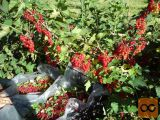 Sadnice bobičastog voća