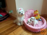 Two Maltese tea puppies need a new family